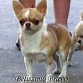 HELENA'S BAND GALATHEYA BELISSIMO BRAVO