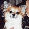 WEE BARK CHIHUAHUA S FUZZBUSTER