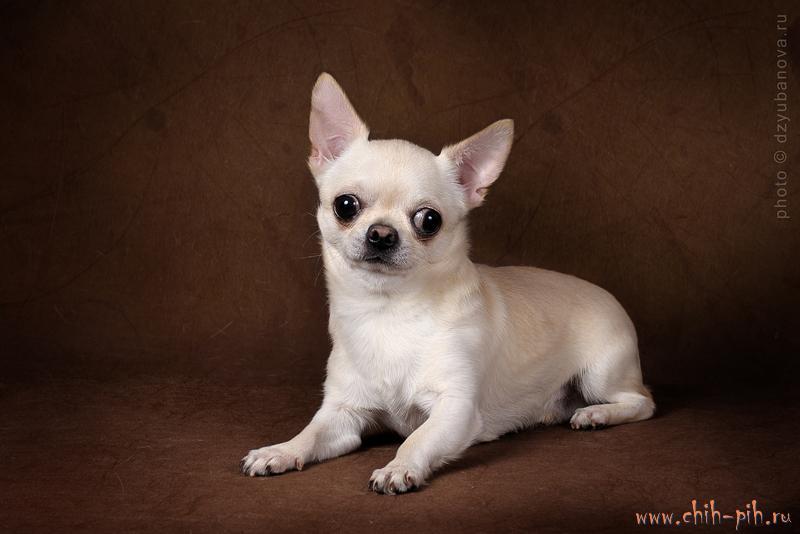 Фото собаки хатико